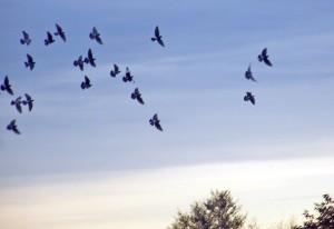 birds_in_autumn_sky_196428