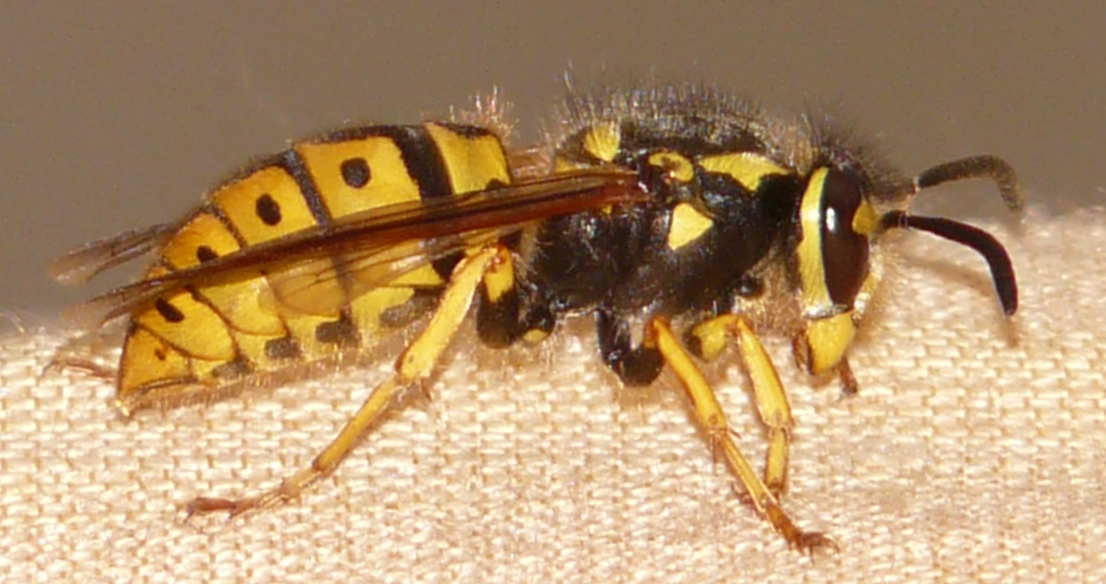 What does a yellow jacket bee look like